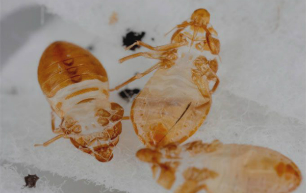 bed bugs symptoms and signs