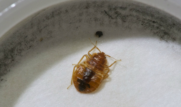 How To Bed Bug Traps Work