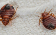 season for bed bugs